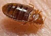 bed bug new york wikipedia