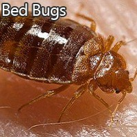 Dallas Bed Bug Problems